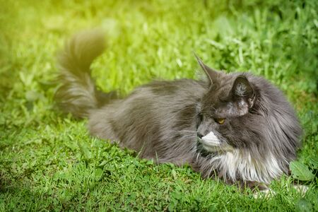 Pure gray cat, with yellow eyes, lies on the green grass and rests.