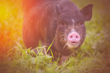 Toned photograph of a pig in the sunshine in soft light. Pig closeup on a background of nature. Black pig with a pink nose.