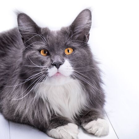 The gray cat of Maine Coon breed looks into your eyes with big beautiful, yellow eyes on a white background and at the same time looks like a cutie.
