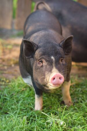 Cute pig, black, looks at you. A little pig runs through the green grass. Black pig with a pink heel.