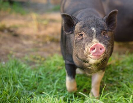 Little pig runs through the green grass. Black pig with a pink heel. Cute pig, black, looks at you. Banco de Imagens