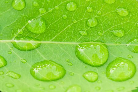 Beautiful leaf texture in nature.Big beautiful drops of transparent rainwater on green leaves.Dew drop in the morning on a green leaf with sunlight.Beautiful green leaf with drops of water.