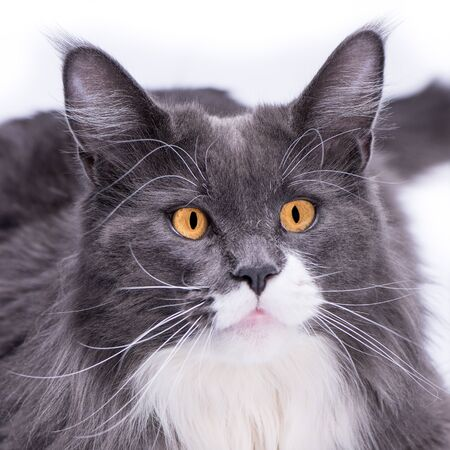 A gray thoroughbred cat looks into your eyes with big beautiful, yellow eyes, on a white background and at the same time looks like a cutie.