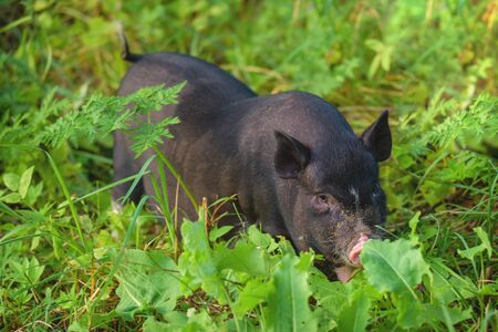 Respect for wildlife and the world around us. Young pig, black, stands on the green grass. Concept, animal health, friendship, love of nature and animals. Vegetarian style.  Banco de Imagens