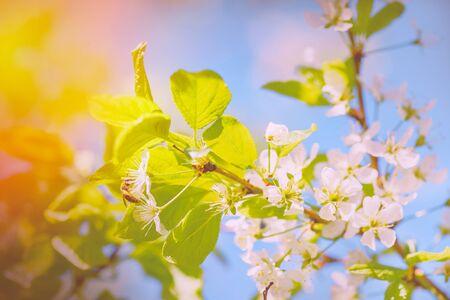 Honey bee pollinates blooming flowers of cherry. Bee on cherry flower. Bee on spring flower collecting pollen and nectar.Flower Bloom Nature Concept/Honeybee.