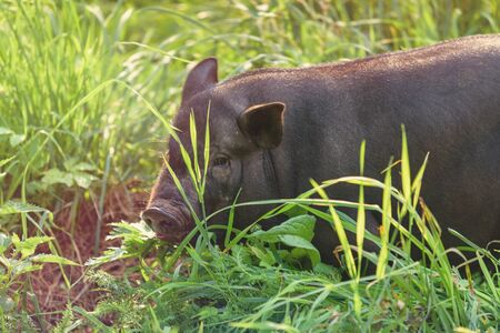 A young pig, black, stands on the green grass. Concept, animal health, friendship, love of nature and animals.Respect for wildlife and the world around us.
