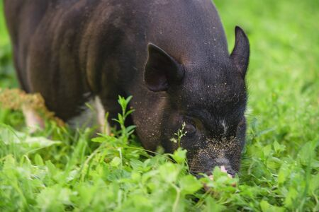 Portrait of an animal. Pig closeup on a background of nature. Black pig
