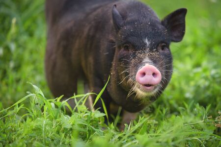 Portrait of a black pig with a pink heel. Portrait of an animal. Pig close-up on the background of nature. Pig.