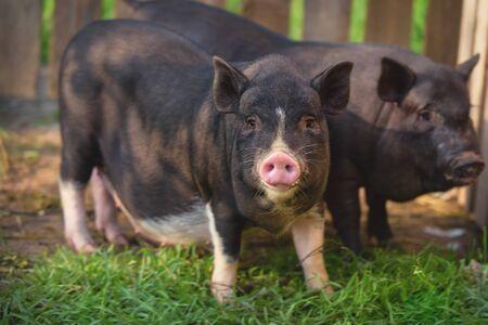Black Vietnamese pigs on the farm. Two little cute black pigs.