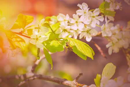 Spring is a blooming cherry tree and bee.Flower Bloom Nature Concept/Honeybee.Bee on spring flower collecting pollen and nectar.Honey bee pollinates blooming flowers of cherry. Bee on cherry flower.  Banco de Imagens