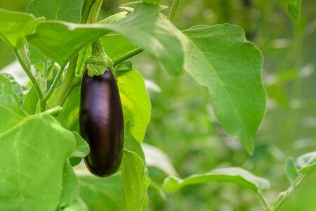 Eggplant Growing Branch Leaf Green. Fresh growing juicy eggplant on branch. Eggplant grow in greenhouse. Growing eggplant in greenhouse close-up.