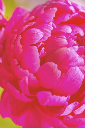 Peony close-up. Red Spring Flower. Peony close-up.  Peony leaves close-up. Vertical shot of red spring flower.