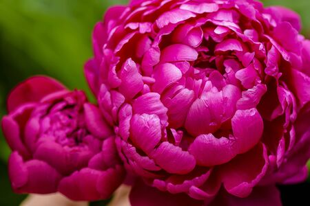 Peony close-up. Peony rose renaissance after rain close-up.  Red Spring Flower. Money flower of happiness. 스톡 콘텐츠