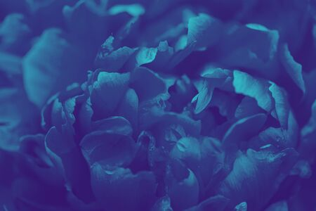 Toned photo of peony. Lilac tinted peony flower. Selective focus on Peony Flower. 스톡 콘텐츠