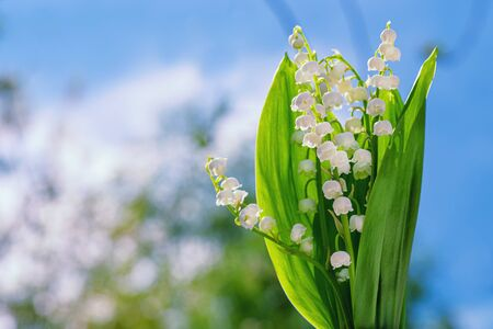 Flower Spring Lily of the Valley Background Horizontal. Natural nature background with blooming beautiful flowers lilies of the valley lilies-of-the-valley. Lily of the valley. Blooming lily of the valley against blue spring sky.