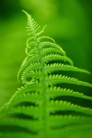 Fern Leaves Ecology Concept. Green ecological wildlife concept background. Wildlife Paportik Green Leaf.  版權商用圖片