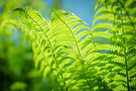 Symbol Wildlife Ecology. Green ecological wildlife concept background. Green leaf of fern in the sun. Wildlife concept. Green Leaf Fern. Ecology concept.