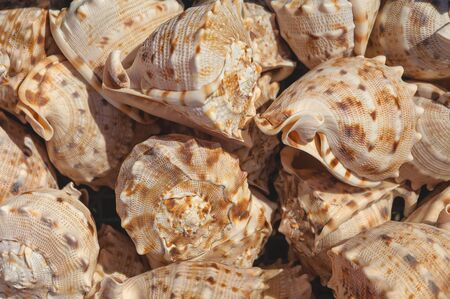 Top view close up of mollusk.Texture of shells top view. Concept group of sea shells. Sea mollusks close-up. Background from exotic shells.  Seashells background.