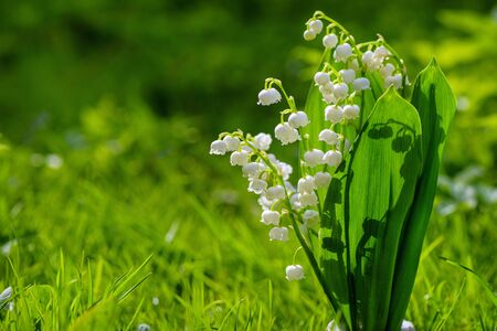 Flower Spring Lily of the valley Background Horizontal Close-up Macro shot. Close-up of lily of the valley flower spring background. Natural nature background with blooming beautiful flowers lilies of the valley lilies-of-the-valley. Blooming lily of the valley flowers on a background of green grass with place for copy text. 스톡 콘텐츠