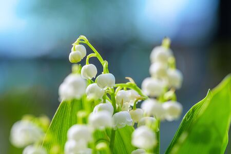 Flower Spring Lily of the valley Background Horizontal Close-up Macro shot. Bouquet of lilies of the valley in vase against blue sky. Natural nature background with blooming beautiful flowers lilies of the valley lilies-of-the-valley.