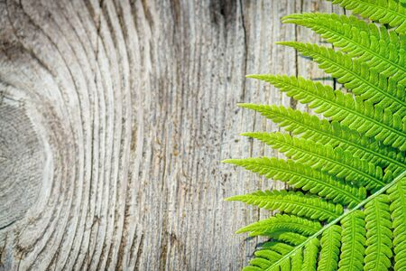 Natural background Wildlife concept copy-space. Fern leaves close-up gray wooden background, top view copy space. Green Fern Leaf. Symbol Wildlife Ecology.