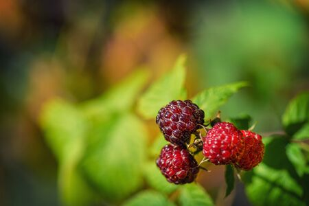 Raspberries in the sun. Red raspberries. Raspberries on a branch in the garden. Red berry with green leaves in the sun. Photo of ripe raspberries on a branch.