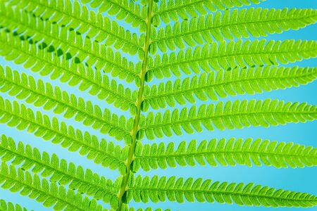 Green leaf of fern in the sun. Fern Leaves Ecology Concept. Wildlife Paportik. Wildlife concept. Stock fotó