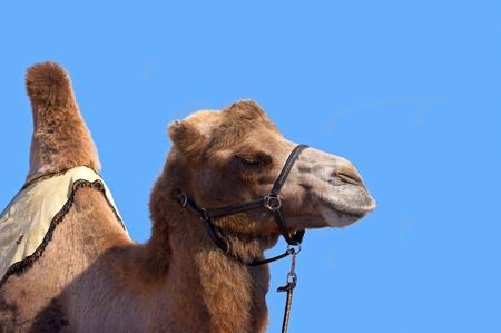 saddle camel: Camel with harness on a blue sky background