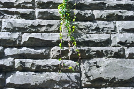 Green leaves of creeper plant on stone wall photo