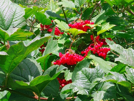 Bunches of red berries on a bush viburnum photo