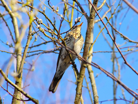 A fieldfare in his native forest in spring photo