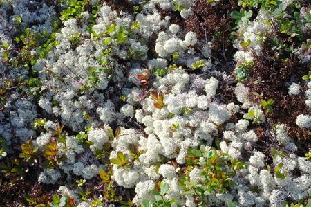 tundra: Tundra plants Stock Photo