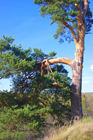 witchery: Landscape with view to fabulous pine Stock Photo