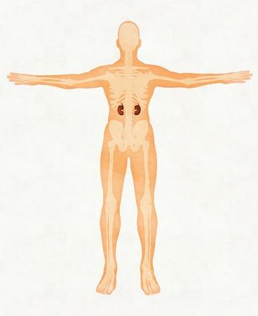 Kidney anatomy. medical Stock Photo