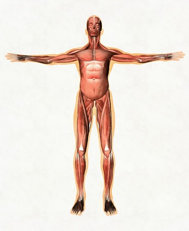 Anatomy of male muscular system - anterior view