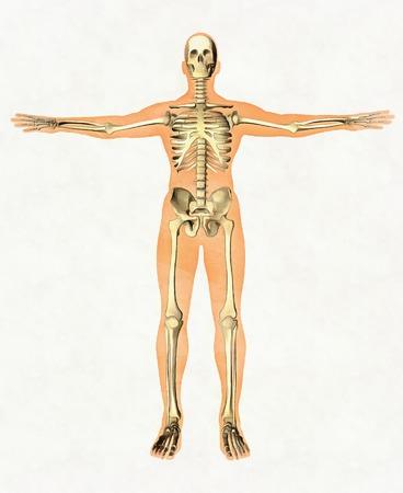 Anatomiegids van menselijk skelet. Didactisch bord van benig systeem. Vooraanzicht