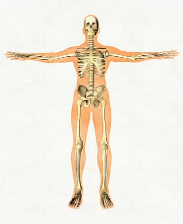Anatomy guide of human skeleton. Didactic board of bony system. Front view Imagens