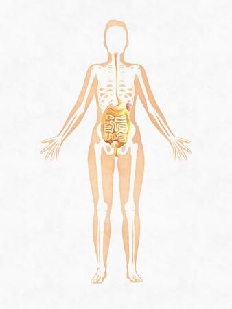 Woman skeleton. Anatomy