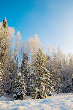 snow forest against a blue sky at sunset of a sunny day