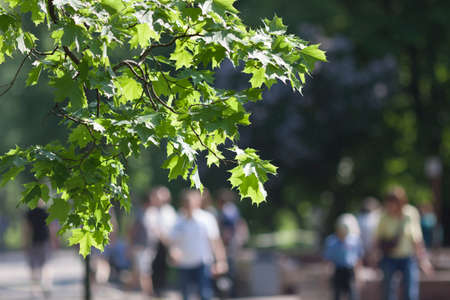 going in: branch of green maple leaves with people going in the background
