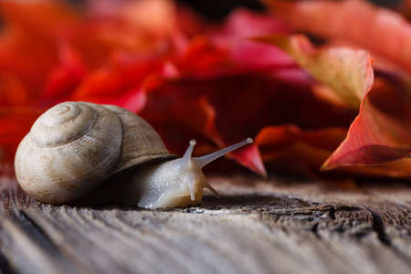 grape snail: Grape snail on weathered table. Autumn leaves background