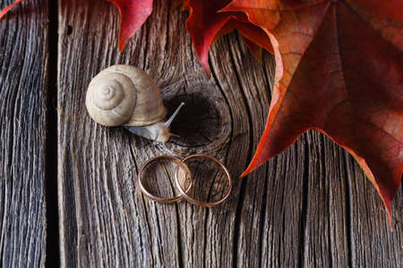 Wedding decoration. Red leaves on weathered table with wedding rings and big snail Stock Photo