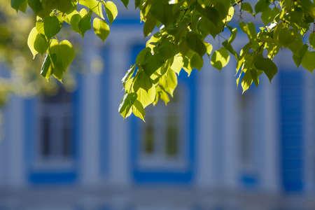 limetree: green leaves glowing in sunlight