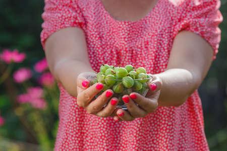 gooseberry bush: Berries of gooseberry on a female hand