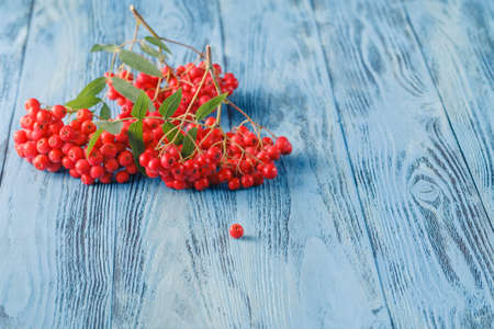Rowan berries on a blue background. Place for text Stock Photo