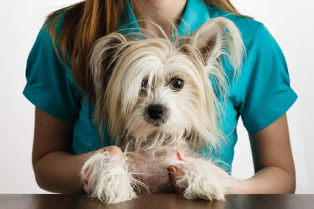 Small Cute Chinese crested dog in girls hands