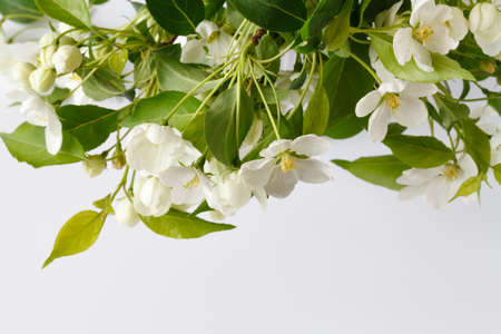 Pretty Crab Apple Blossoms in Lower corner on Rustic White Board Slats Background with empty blank room or space for text
