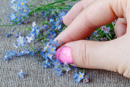 cultivating: Female hands carefully hold a Forget-me-nots (Myosotis) flowers