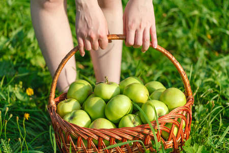 Wicker basket with green apples on a grass background