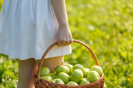 Closeup of vintage basket with organic apples in womans hands. Garden harvest. Summer. outdoors. Woman holding a big basket of fruit. Healthy lifestyle and eating. Stock Photo